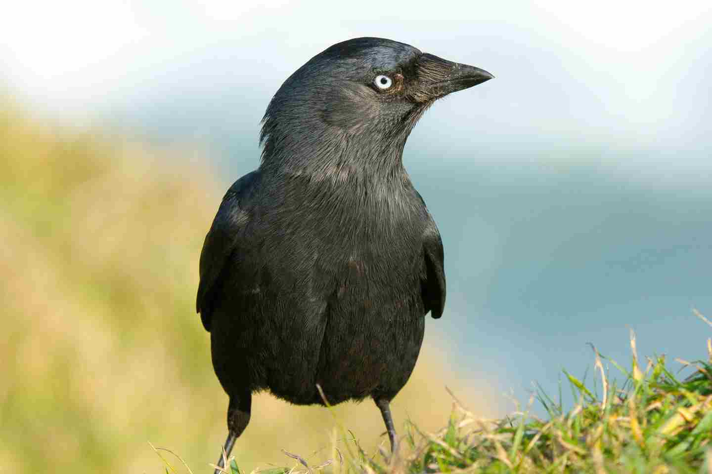 A Jackdaw Perched Above The Sea Dan Murphy